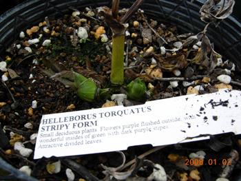 Torquatus